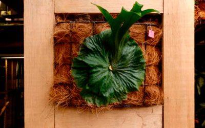 Cultivos de los Platycerium, plantas singulares para el adorno de jardines