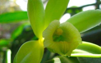 Uno de los sabores predilectos del mundo proviene de una orquídea