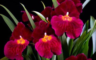 Orquídeas, Sexo y Cultura